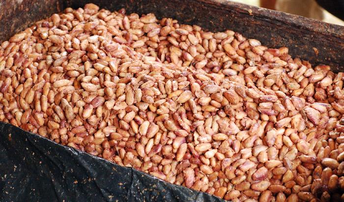fermentizacia-alebo-kvasenie-kakaovych-bobov