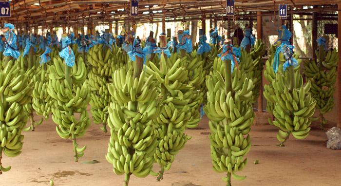 banany_posuvame_dalej